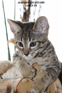 TICA Registered SBT Savannah Kittens!!!