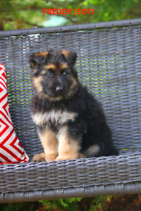 **one female left!!!! Plush Shepherd puppies