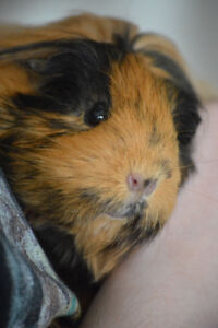 2 Female bonded guinea pigs, need to be re-homed!