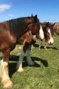 Chevaux Clydesdale