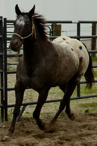 Horse for sale: Appaloosa gelding 14hh age 7