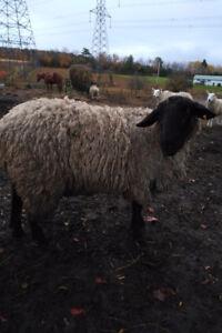 3 year old Suffolk Ram