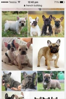 Looking to buy French bull dog puppy Wandi Kwinana Area Preview
