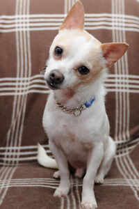 Paco – little mixed Chi gentleman !