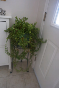 English Ivy -plant stand included