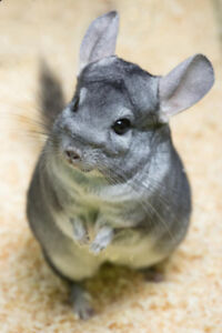 Handsome Chinchilla with Pellet & Volcanic Dust Bath
