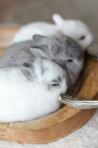 RARE AND FANTASTIC COLOURED-Pure Netherland Dwarf Bunnies