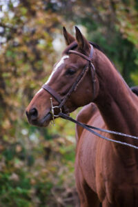 4 Yr. Old OTTB Mare For Sale