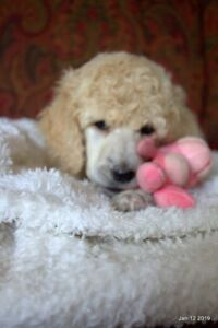 Standard Poodle Puppies Ready Febuary 3rd!