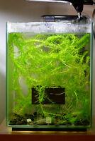 Plantes pour aquarium de crevettes ou poissons