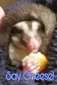 13 week old, hand-tamed, male sugar glider joey for adoption