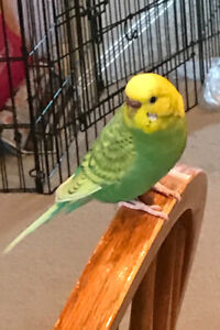 Looking for a female Budgie/Parakeet