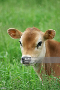 FAMILY COW - JERSEY HEIFER