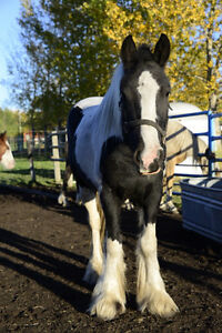 Registered Gypsy Vanner Mare