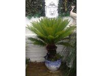 SAGO Palm in pot. Tall £65