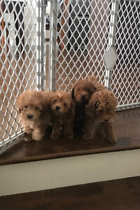 Purebred toy poodles for sale