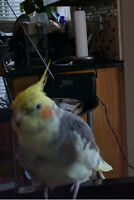 Lost my bird (cockatiel) - REWARD INCLUDED