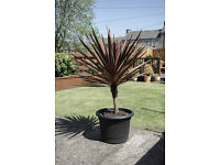 Cordyline Red Star Cabbage Palm