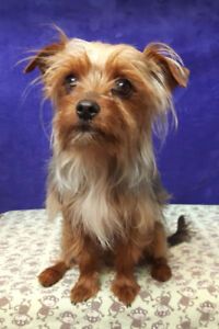 Yorkshire Terrier - Male for rehoming, 1 year old and unaltered