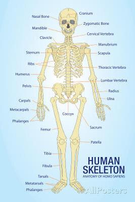 Human Skeleton Anatomy Anatomical Chart Poster Print Poster Print  13X19