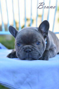 Beautiful Blue CKC Registered French Bulldog Puppies