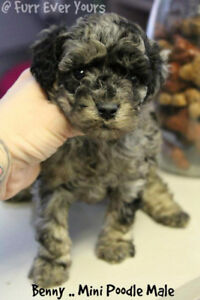 Poodle puppies 8-12 pounds full grown