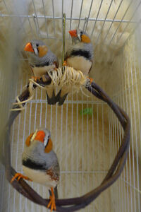 Beautiful Zebra Finches for Sale