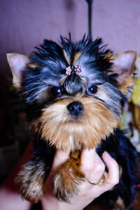 Teacup Yorkie Kijiji In Ontario Buy Sell Save With Canadas
