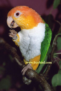 White Bellied Caique babies for sale