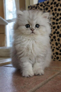 Looking for a male Persian kitten