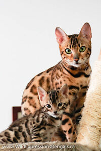 Purebred Bengal Lap Leopards Available