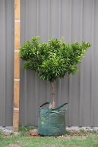 Advanced Citrus Trees Wandi Kwinana Area Preview