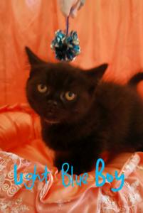 British Shorthair Black Kittens