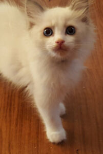 TICA Blue bicolour Ragdoll kittens - Neutered