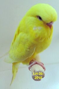 Baby English Red Eye Lacewing Male Budgie