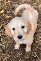 Mini  & regular Golden Doodle Puppies avail now