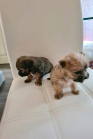 Maltese Yorkshire puppies (morkies)