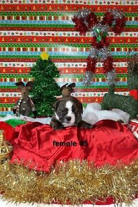 Purebred English Bulldog Puppies - Just In Time For Christmas! London Ontario image 5