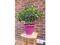 Jade Plant (AKA Money Plant)