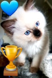 TICA Registered Chocolate Point Ragdoll Kitten
