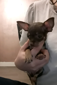 Beautiful teacup chihuahua pups ready to leave now