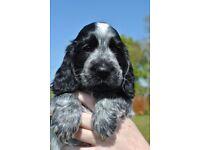 Blue Roan Cocker Spaniel Pups for sale