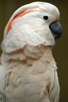 Beautiful Salmon Crested Moluccan Cockatoo