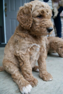 Poodle or Labradoodle?