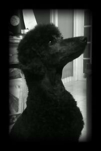 **STANDARD POODLE PUPPIES**