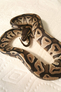 Unsexed Mojave and Pastel Ball Pythons