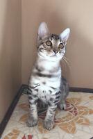 Magnifiques chatons de La Quête du Bengal