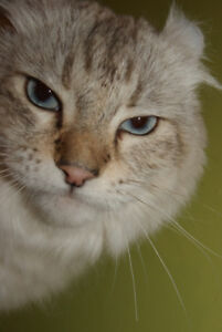 Chatte Highland Lynx pure race