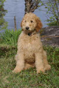 Caniche royal ou goldendoodle