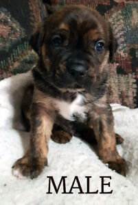 Boston bulldog/puggle cross puppies